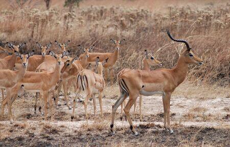 tanzania: Impalas in Tanzania