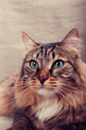 Portrait of a handsome tabby domestic cat photo
