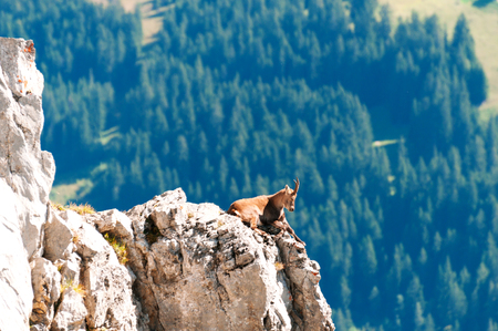 Wild mountain goat rests on a cliff in the Alps , Switzerland photo