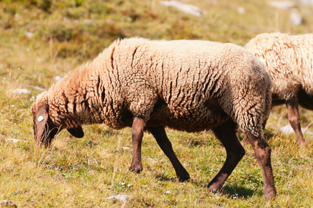 Sheep grazing on the slopes near the peak Hafelekar in Innsbruck , Austria photo