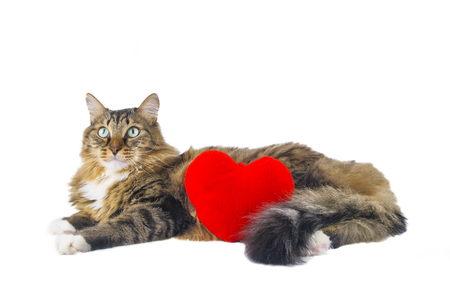 Big cat with red heart lying on white background