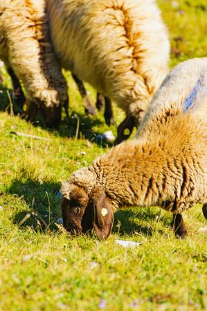 Sheep graze on the hillsides