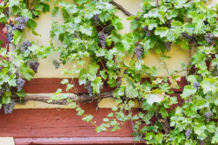 Bunch of grapes hanging on a vine against the yellow wall of an old half-timbered house Stockfoto