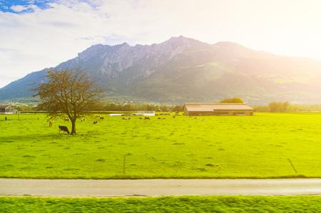 Rural Alpine landscape with grazing cows. View from afar. Standard-Bild