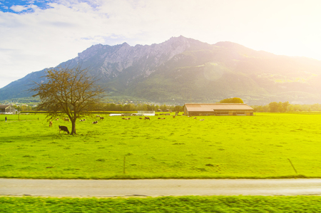 Rural Alpine landscape with grazing cows. View from afar. Stockfoto