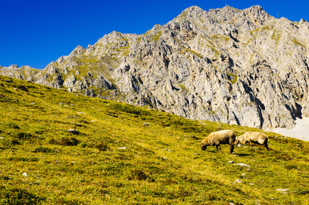 Sheep graze in a meadow high in the mountains. The Alpine mountains. Austria, Tyrol.