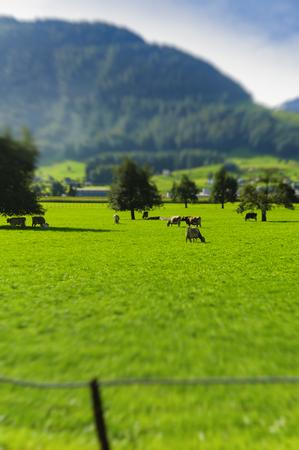 Beautiful green Alpine meadows with grazing cows. Swiss Alps Stockfoto