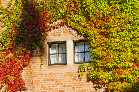 Old red brick wall with ivy. Window in a brick wall.