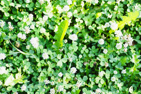 A grass carpet. Clover and other herbs, background