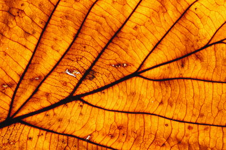 Background from an autumn leaf with streaks and cells