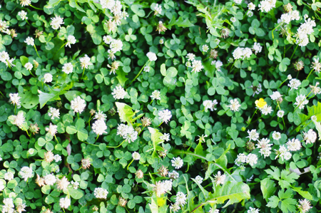Meadow motley grass. Clover on the lawn Standard-Bild