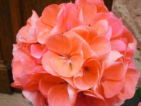 Orange geranium close-up