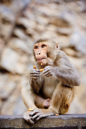 monkey nuts: Monkey eating a peanut Stock Photo