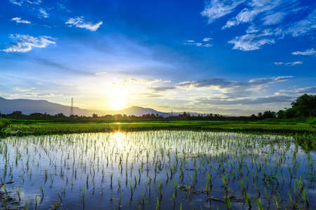 mai: Young rice field with mountain sunset , Chiang Mai, Thailand