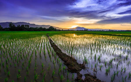 ricefield: Young rice field against reflected sunset sky, Chiang Mai, Thailand