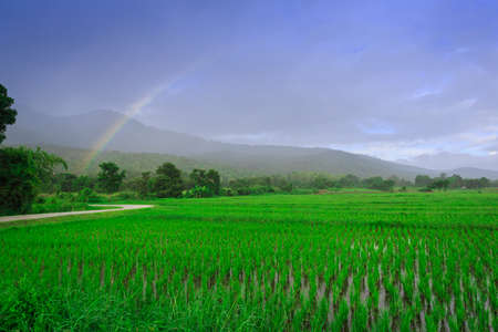 Young rice field, Chiang Mai, Thailand photo