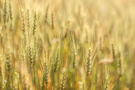 Golden barley field, Chaing Mai, Thailand photo