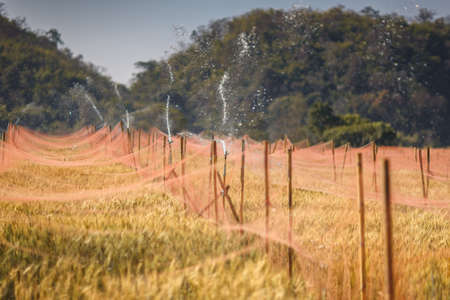 Watering of golden barley field, Chaing Mai, Thailand photo