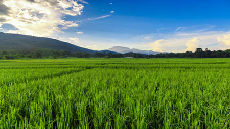 terraced field: Green Rice Field with Mountains Background  under Blue Sky, Chiang Mai, Thailand