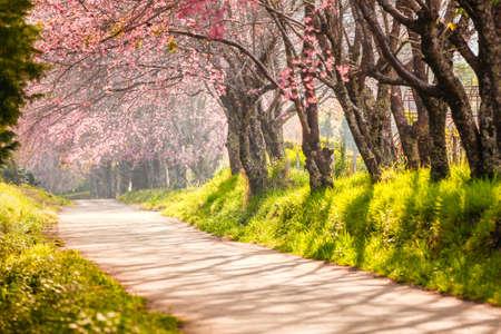 cherry tree: Beautiful cherry blossom, Chaing Mai, Thailand