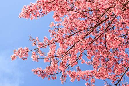 Beautiful cherry blossom, Chaing Mai, Thailand