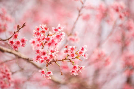 close up: Beautiful cherry blossom, Chaing Mai, Thailand