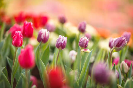 field flower: Beautiful colorful tulips in garden