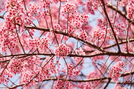 cerezos en flor: Hermosa flor de cerezo, Chiang Mai, Tailandia