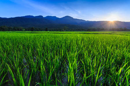 mai: Young rice field with mountain sunset background, Chiang Mai, Thailand