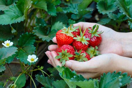 いちご農園から厳選、新鮮なイチゴ