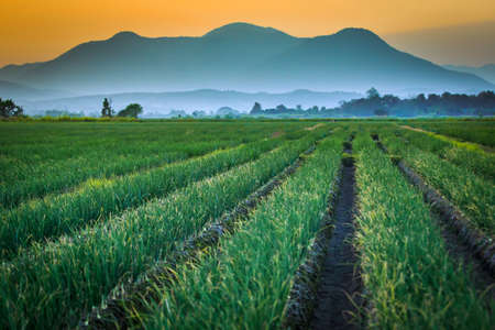 field of thai: Red onion field with mountain background, Thailand