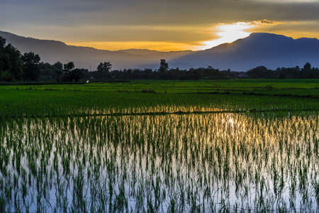 Young rice field against reflected sunset sky, Chiang Mai, Thailand photo