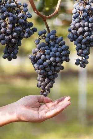 manually: Wine grape manually quality control in vineyard Stock Photo