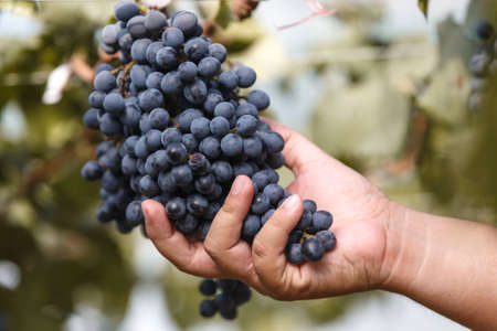 manually: Wine grape manually quality control in vineyard Stock Photo