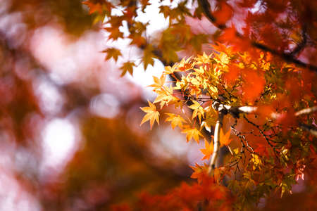 [Selected focus] Autumnal yellow maple leaves in blurred background