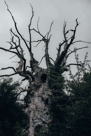 Creepy old tree in dark forest with cloudy gray sky Imagens