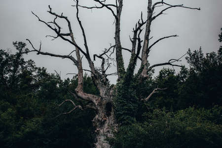 Creepy old tree in dark forest with cloudy gray sky