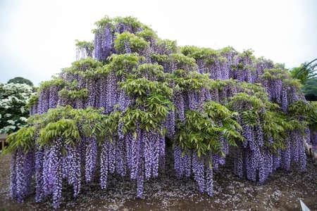 Purple Wisteria Flower Tree Blooming In Garden Stock Photo