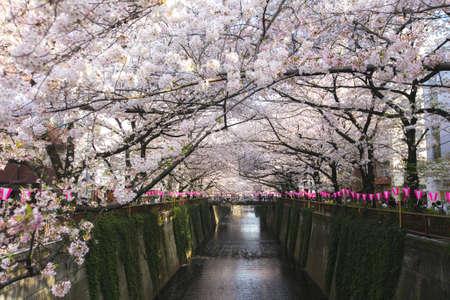 filtre doux du festival sakura de fleurs de cerisier de la rivière meguro