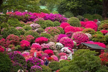 Bunkyo Azalea Festival is an annual flower festival held at Nezu Shrine