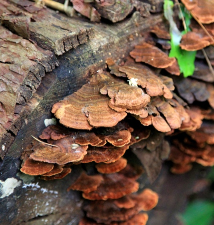 timbre: Reddy Brown Fungus on a log Stock Photo