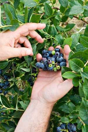 human hands picking up blueberry fruits in vertical composition Stock Photo