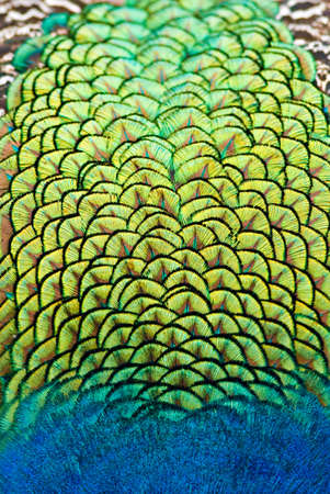 close up of peacock body feathers. Animal background in vertical composition.