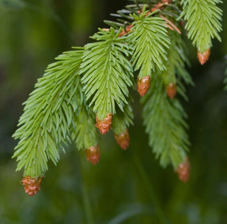 pinaceae: Close up of needle-like leaves of fir tree on green background. Focus on upper leaves.