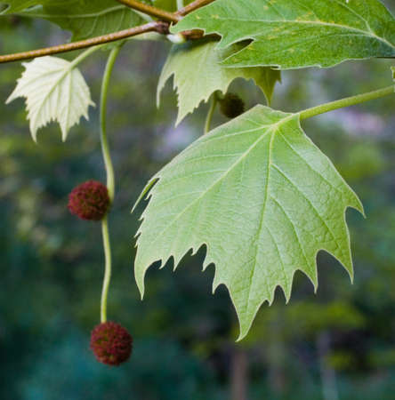 lobed: London plane tree. Detail of thick leaves in square format