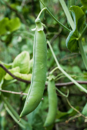 green pea: Growing pea plant with two pods in vertical composition