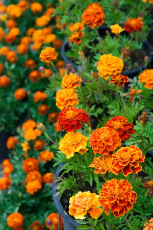 blossoming marigolds in pots. Vertical composition