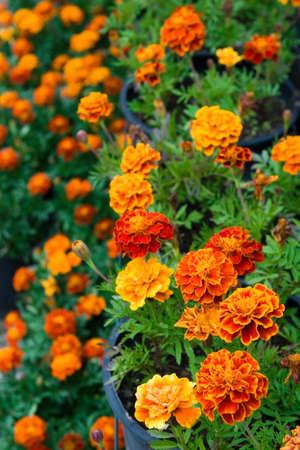 composition vertical: margherite in fiore in vaso. Composizione verticale Archivio Fotografico