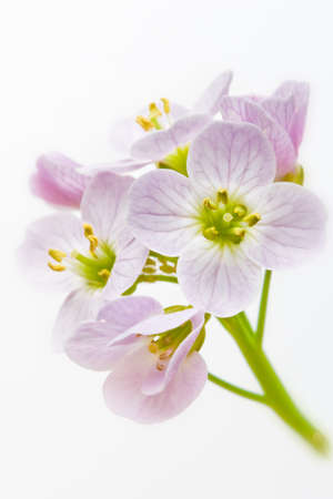 Close up of cuckoo flower  Cardamine pratensis in vertical composition