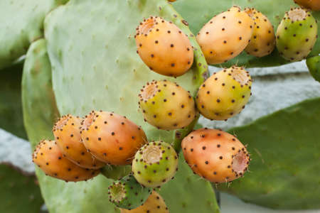 Prickly pear, barbary fig, cactus pear with fruits
